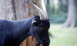 'Black goat' to thrive again in Israel
