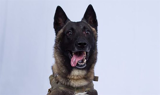 Military dog wounded in the US raid on ISIS leader's compound