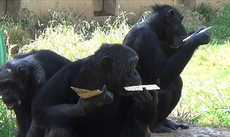 Excited chimps get matzah for Passover